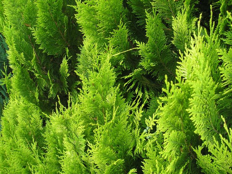 Zelené tůje