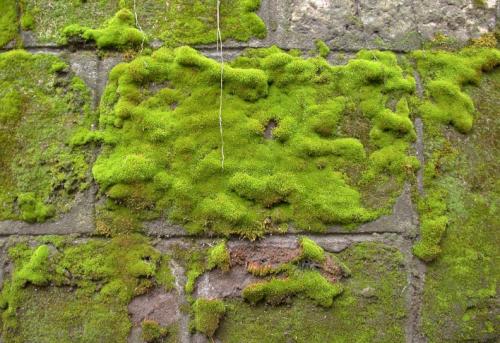 Silně pokrytá zeď mechem