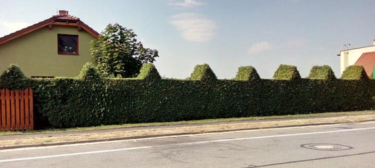 Velký živý plot
